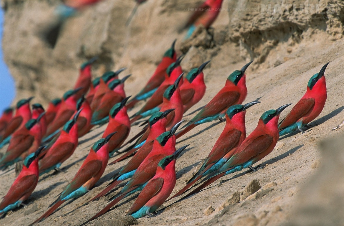 A group of Northern Carmine Bee eaters photographed at the lodges bushcamps used during the Natureslens South Luangwa Wildlife Photography Holiday