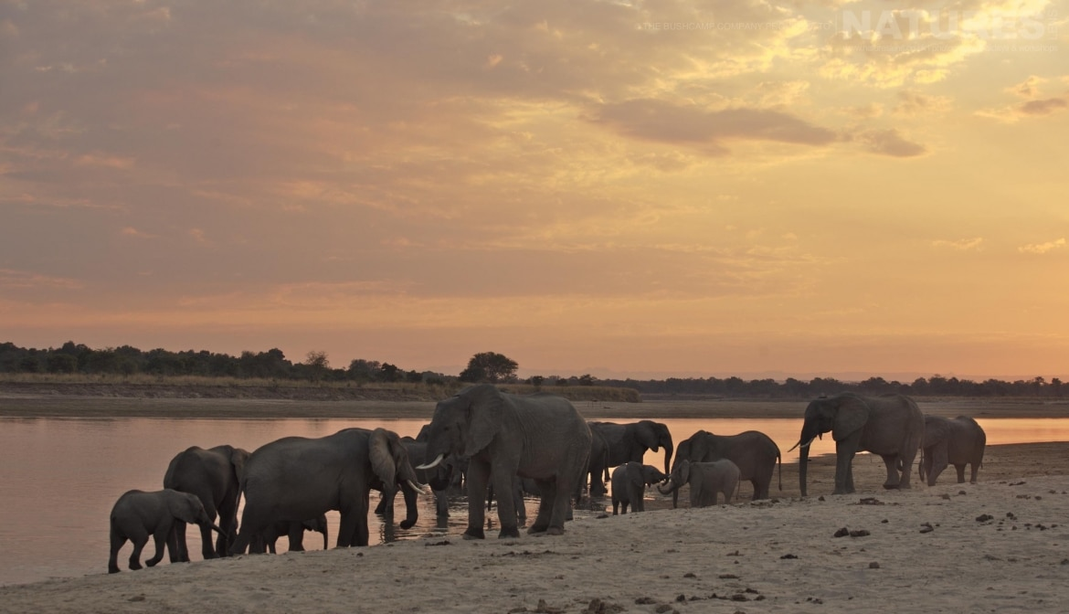 A group of elephants alongside the river photographed at the lodges bushcamps used during the Natureslens South Luangwa Wildlife Photography Holiday