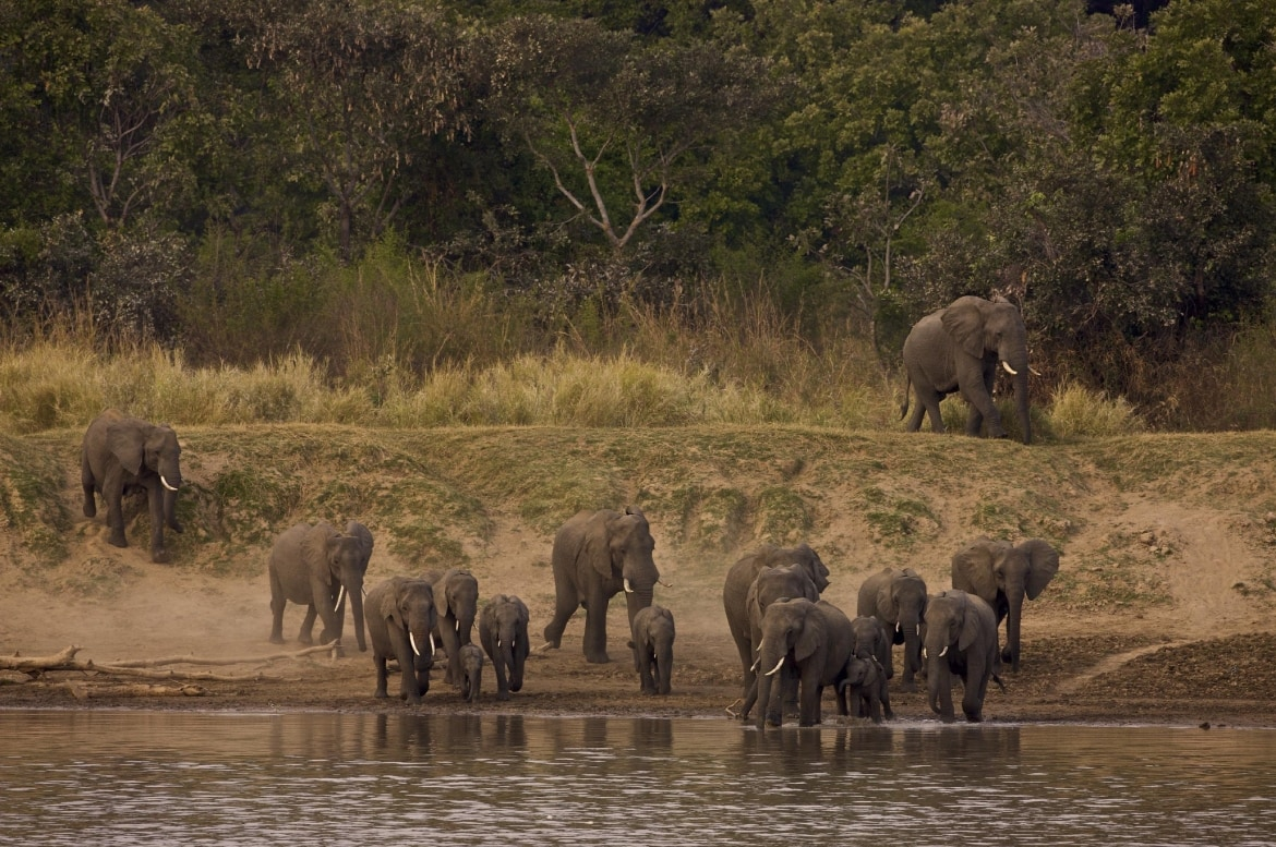 A group of elephants preparing to cross a river photographed at the lodges bushcamps used during the Natureslens South Luangwa Wildlife Photography Holiday