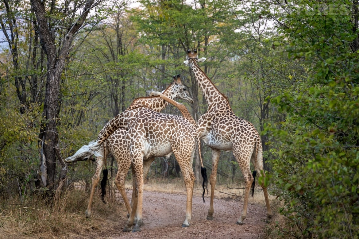 A group of giraffe pause on a track photographed at the lodges bushcamps used during the Natureslens South Luangwa Wildlife Photography Holiday