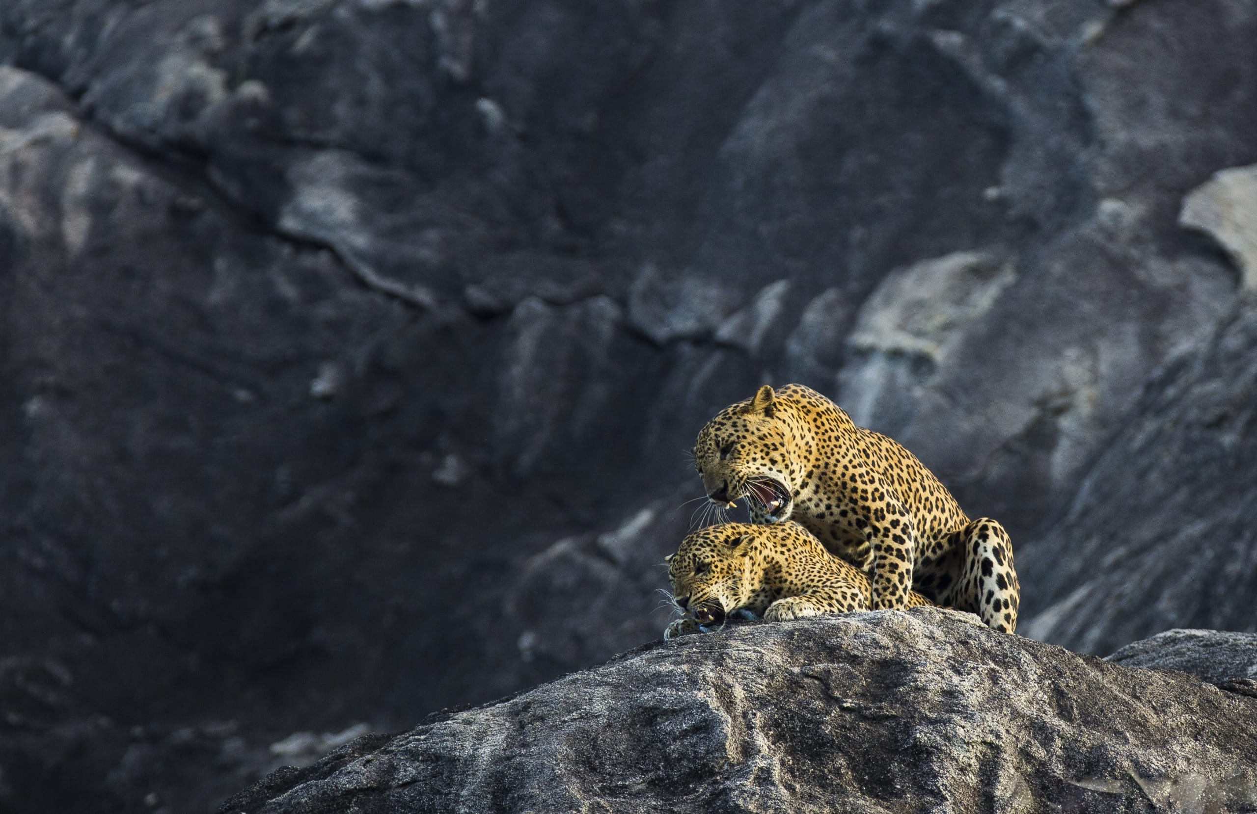 A pair of Mating Leopards on rocks in Yala one of the many locations found on the NaturesLens Wildlife of Sri Lanka Photography Holiday