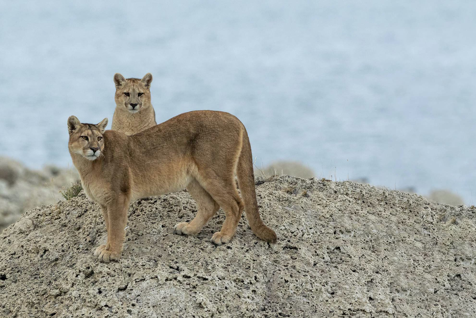 A pair of sub adult pumas photographed in the Torres del Paine National Park the location for the NAturesLens Pumas of Patagonia Photography Holiday 1