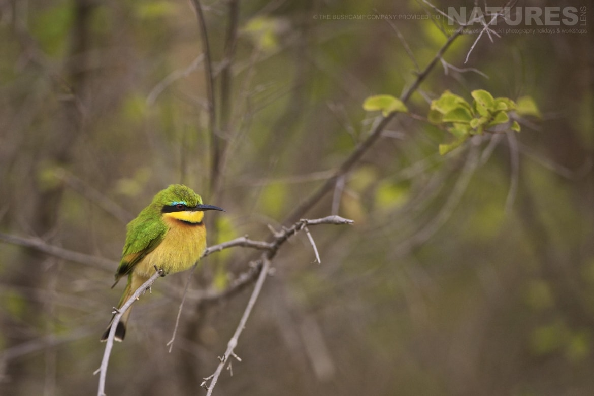 A solitary perched bee eater photographed at the lodges bushcamps used during the Natureslens South Luangwa Wildlife Photography Holiday