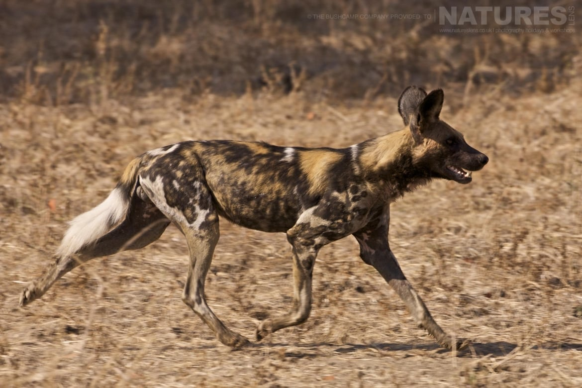 One of the wild dogs from the packs which roam within the National Park photographed at the lodges bushcamps used during the Natureslens South Luangwa Wildlife Photography Holiday