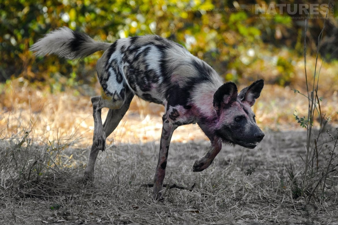 Packs of wild dogs roam within the National Park photographed at the lodges bushcamps used during the Natureslens South Luangwa Wildlife Photography Holiday