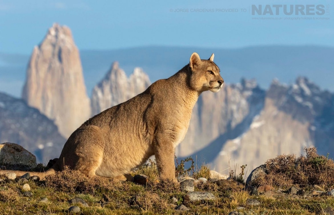 A puma surveys the mountain range it calls home photographed in the Torres del Paine National Park the location for the NaturesLens Pumas of Patagonia Photography Holiday
