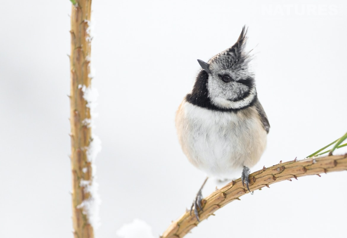 The punk rock Crested Tit is one of the species to photograph during the NaturesLens Wildlife of the Scottish Highlands Photography Holiday