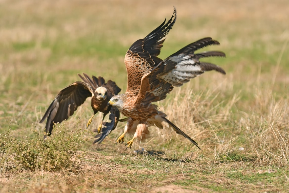 A Harrier & a Red Kite squabble in front of the Steppe Birds hide - photographed in the same hides & locations used for the NaturesLens Winter Wildlife of Calera Photography Holiday
