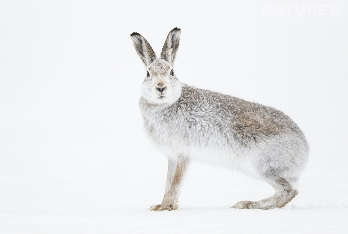Mountain Hares are amongst the species to photograph whilst in the Scottish Highlands during Winter