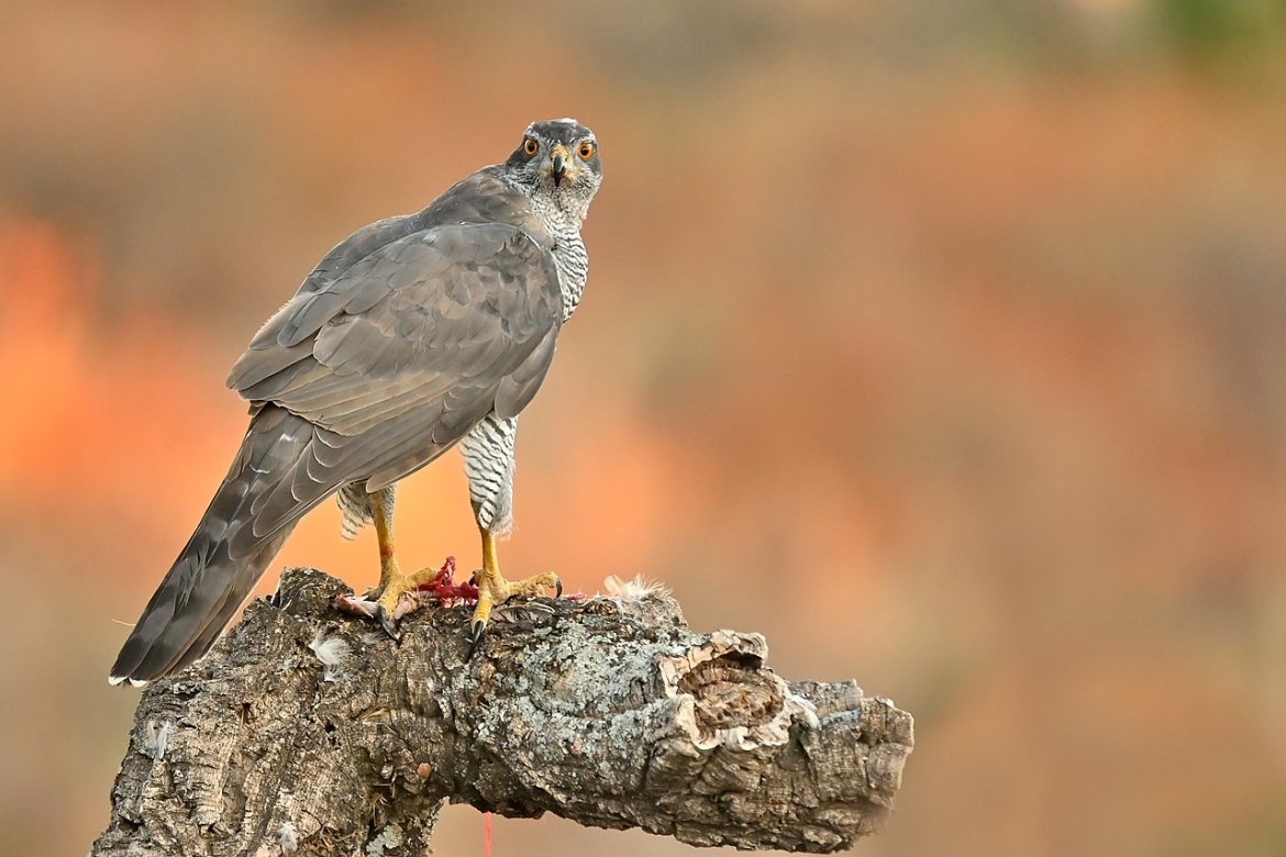 A Northern Goshawk perched on a fallen tree - photographed in the same hides & locations used for the NaturesLens Winter Wildlife of Calera Photography Holiday