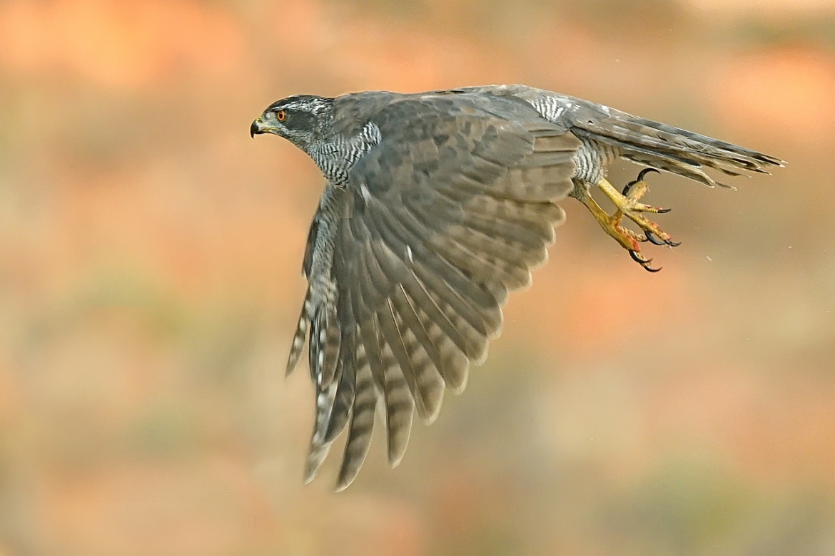 A Northern Goshawk takes flight - photographed in the same hides & locations used for the NaturesLens Winter Wildlife of Calera Photography Holiday