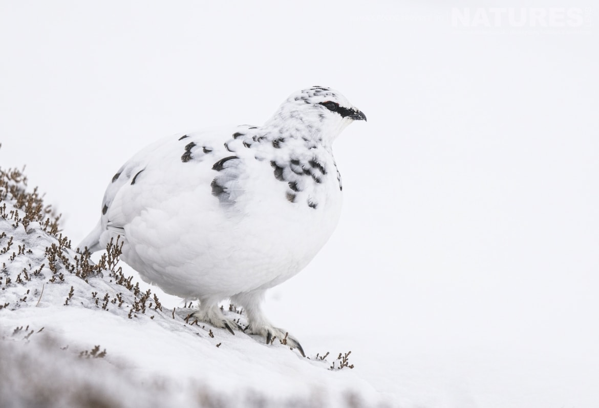 Ptarmigan are just one of the species to photograph during the NaturesLens Wildlife of the Scottish Highlands Photography Holiday