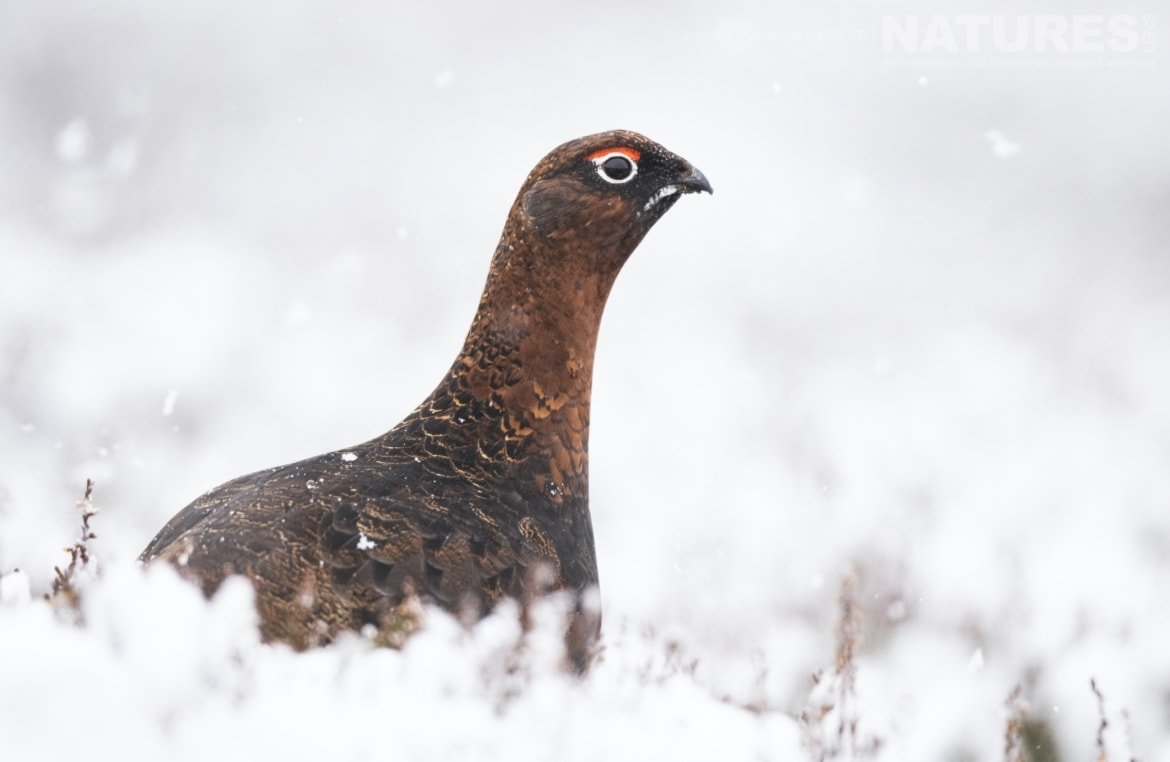 The Red Grouse is one of the species to photograph in the Scottish Highlands during Winter