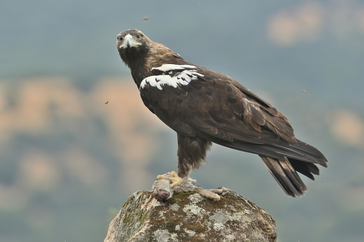 A Spanish Imperial Eagle perched on a rocky outcrop - photographed in the same hides & locations used for the NaturesLens Winter Wildlife of Calera Photography Holiday