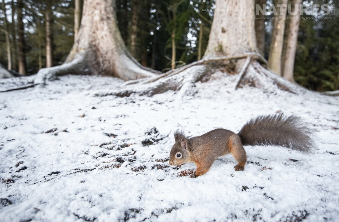 Red Squirrels are just one of the species to photograph during the NaturesLens Wildlife of the Scottish Highlands Photography Holiday