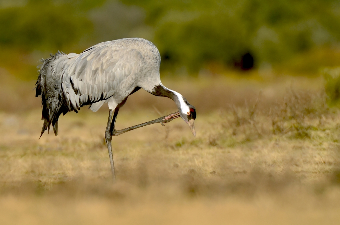 A lone European Crane at the hide location - photographed in the same hides & locations used for the NaturesLens Winter Wildlife of Calera Photography Holiday