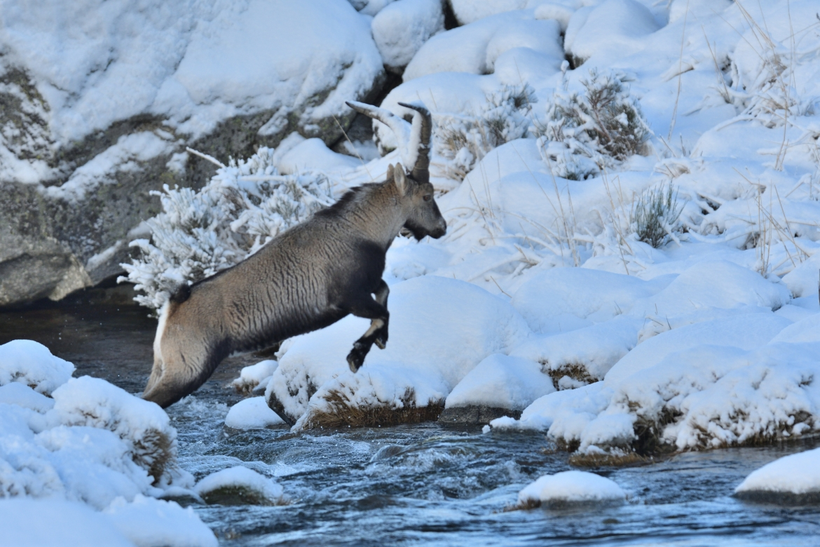 A lone Ibex leaps a mountain stream in the Gredos mountains- photographed in the same hides & locations used for the NaturesLens Winter Wildlife of Calera Photography Holiday