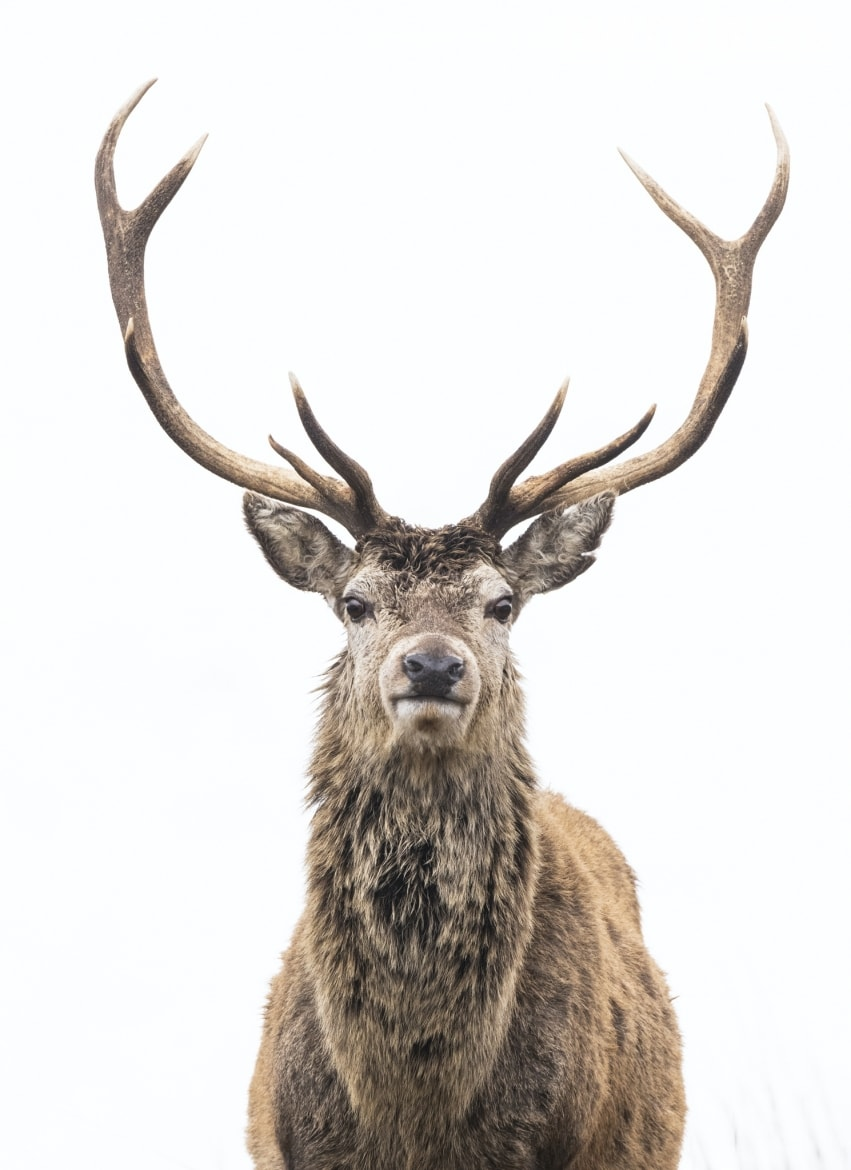 Impressive Red Deer are included in the species to photograph in the Scottish Highlands during Winter