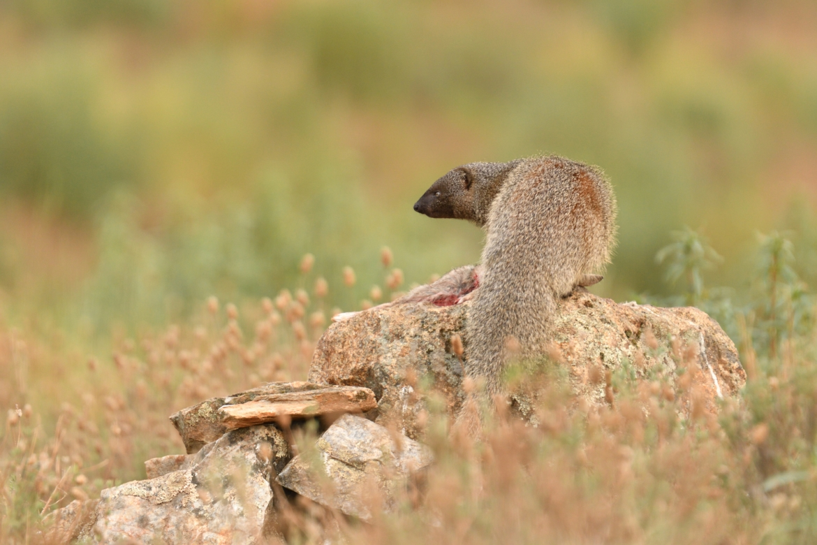 An Egyptian Mongoose on a rocky outcrop - photographed in the same hides & locations used for the NaturesLens Winter Wildlife of Calera Photography Holiday