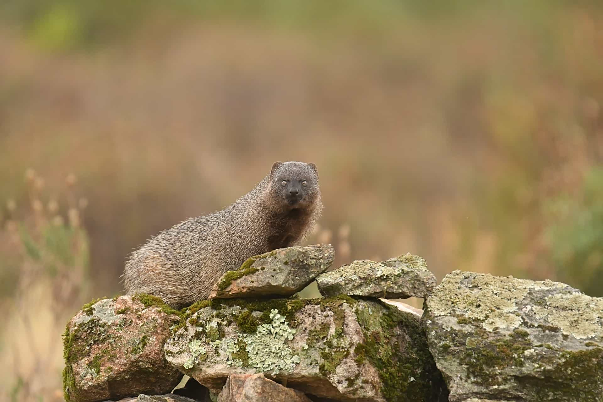 An Egyptian Mongoose stares into the hide – photographed in the same hides & locations used for the NaturesLens Winter Wildlife of Calera Photography Holiday