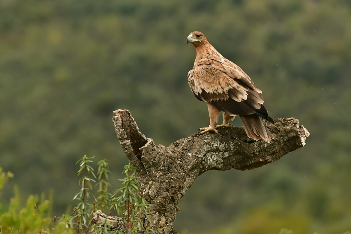 One of the magnificent Spanish Eagles perched on a fallen tree at the Valley Hide - photographed in the same hides & locations used for the NaturesLens Winter Wildlife of Calera Photography Holiday