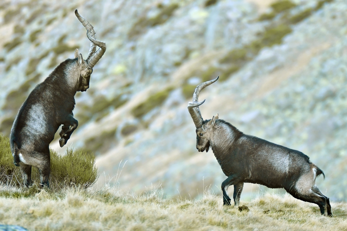 Sparring ibex in the Gredos mountains - photographed in the same hides & locations used for the NaturesLens Winter Wildlife of Calera Photography Holiday