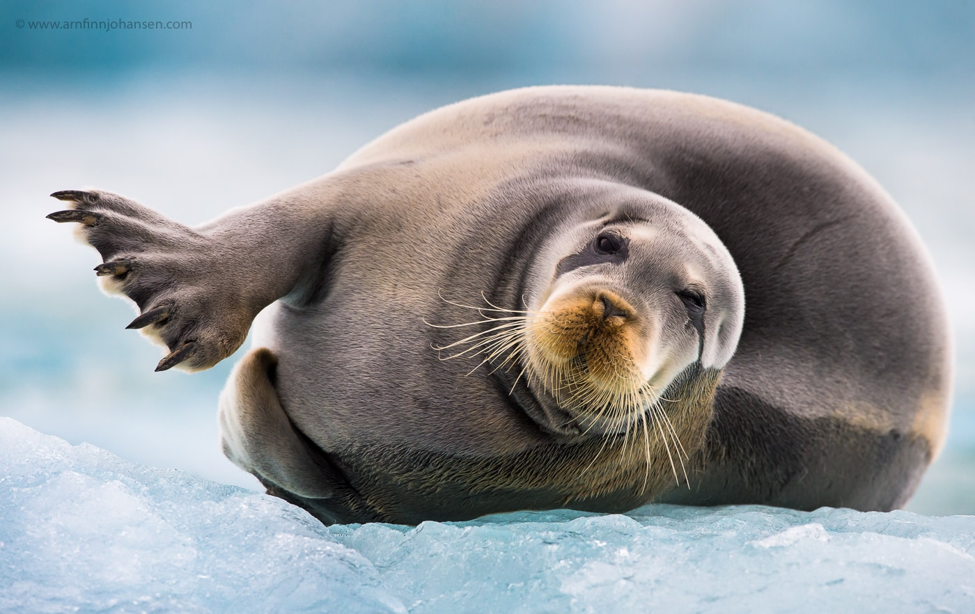 A seal rests on ice in the seas of Svalbard photographed by Arnfinn Johansen