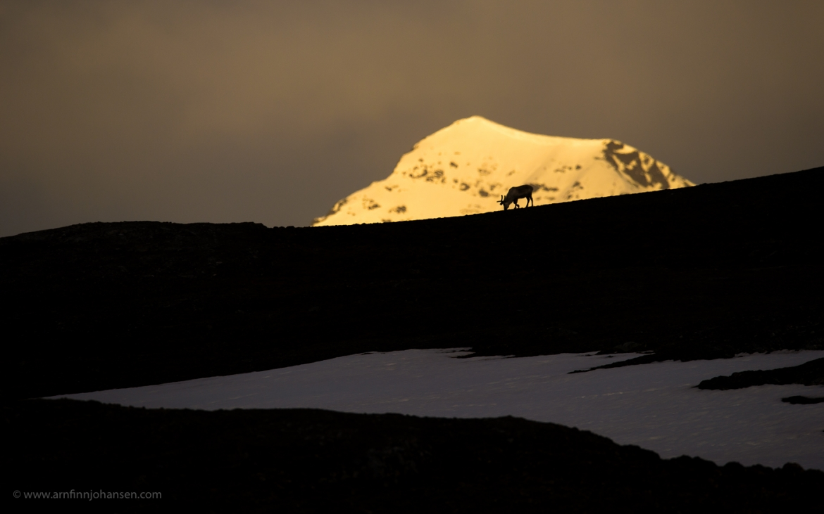 One of the Svalbard Reindeer silhouetted on the horizon in the area surrounding Longyearbyen photographed by Arnfinn Johansen