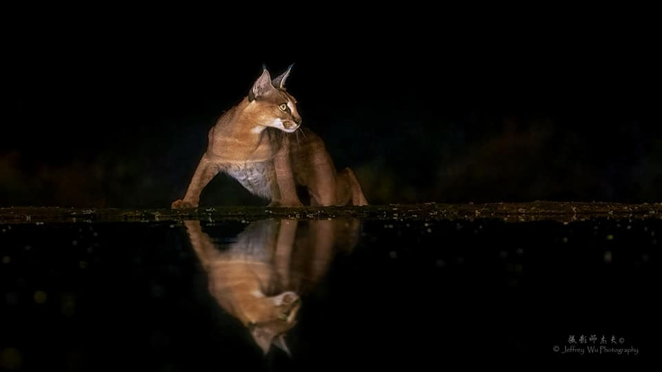 A Caracal looking south at the waterhole - photographed at the lodge used for the NaturesLens Wildlife Hides & Safaris of Kenya Photography Holiday