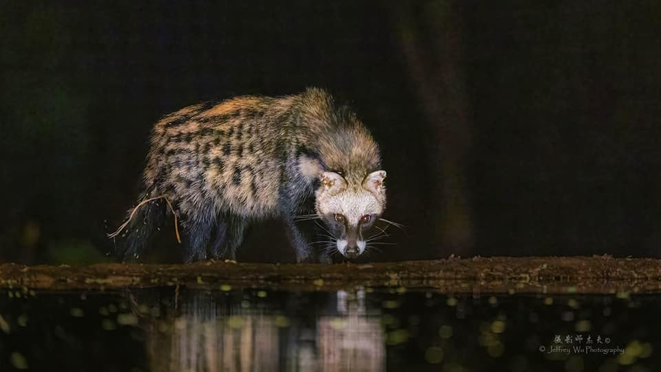 A Civet drinks from a waterhole whilst looking at the camera - photographed at the lodge used for the NaturesLens Wildlife Hides & Safaris of Kenya Photography Holiday