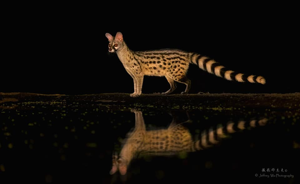 A Genet at the waterhole with a full reflection - photographed at the lodge used for the NaturesLens Wildlife Hides & Safaris of Kenya Photography Holiday