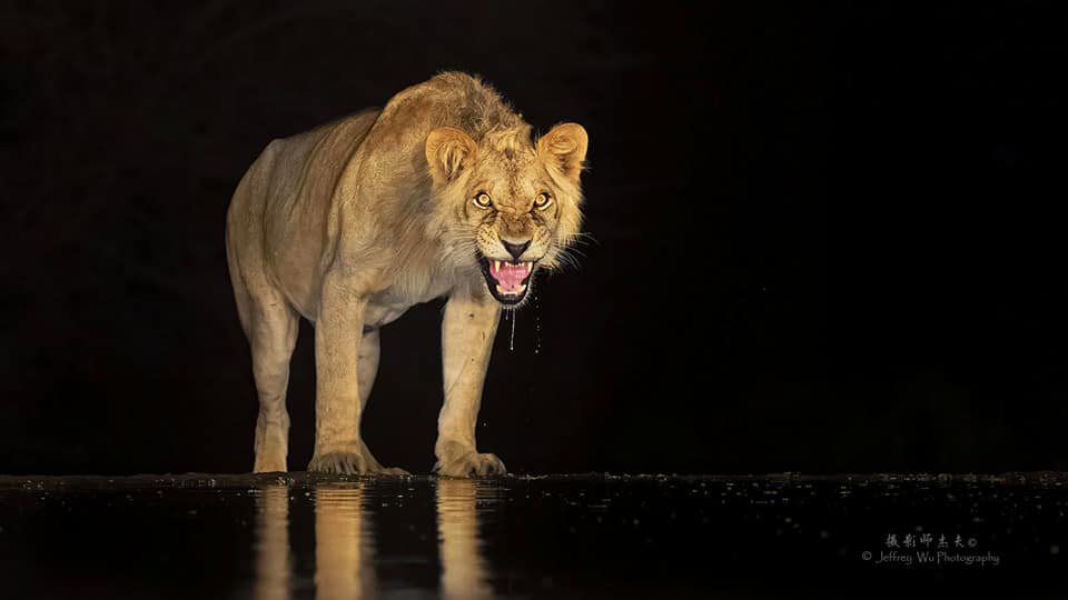 A young male lion snarls at the camera - photographed at the lodge used for the NaturesLens Wildlife Hides & Safaris of Kenya Photography Holiday