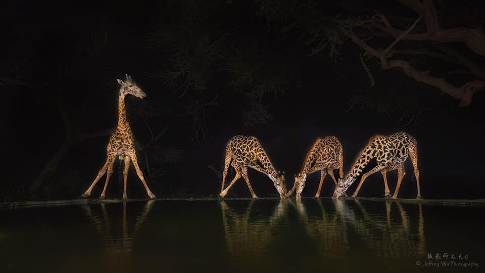 Four Giraffe drink from a waterhole - photographed at the lodge used for the NaturesLens Wildlife Hides & Safaris of Kenya Photography Holiday