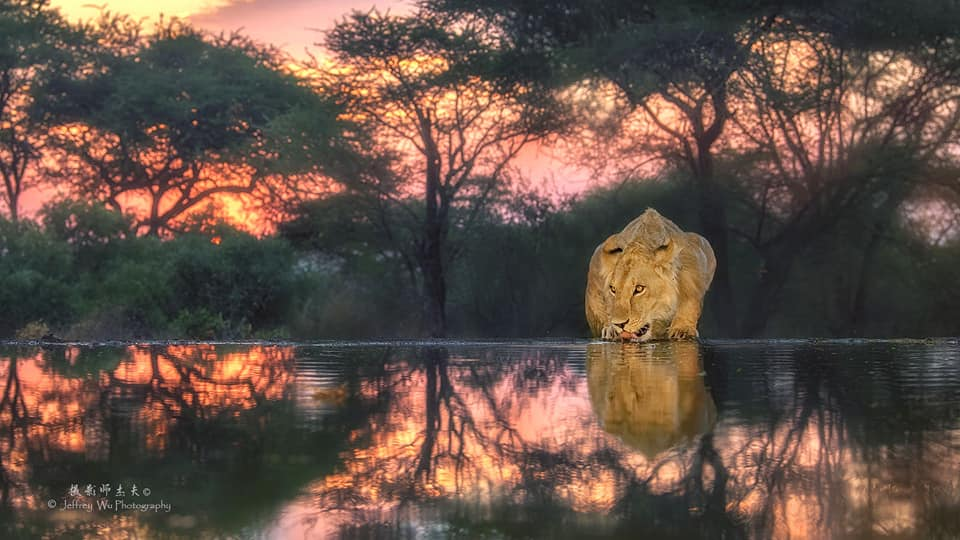 One of the young male lions drinks from a waterhole at sunrise - photographed at the lodge used for the NaturesLens Wildlife Hides & Safaris of Kenya Photography Holiday