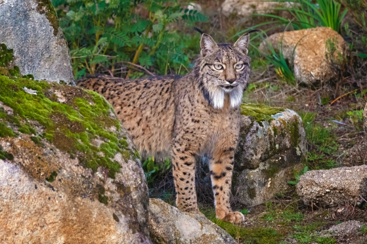 An Iberian Lynx emerges from a rocky area photographed at the locations used for the NaturesLens Mediterranean Wildlife of Andalucia photography holiday