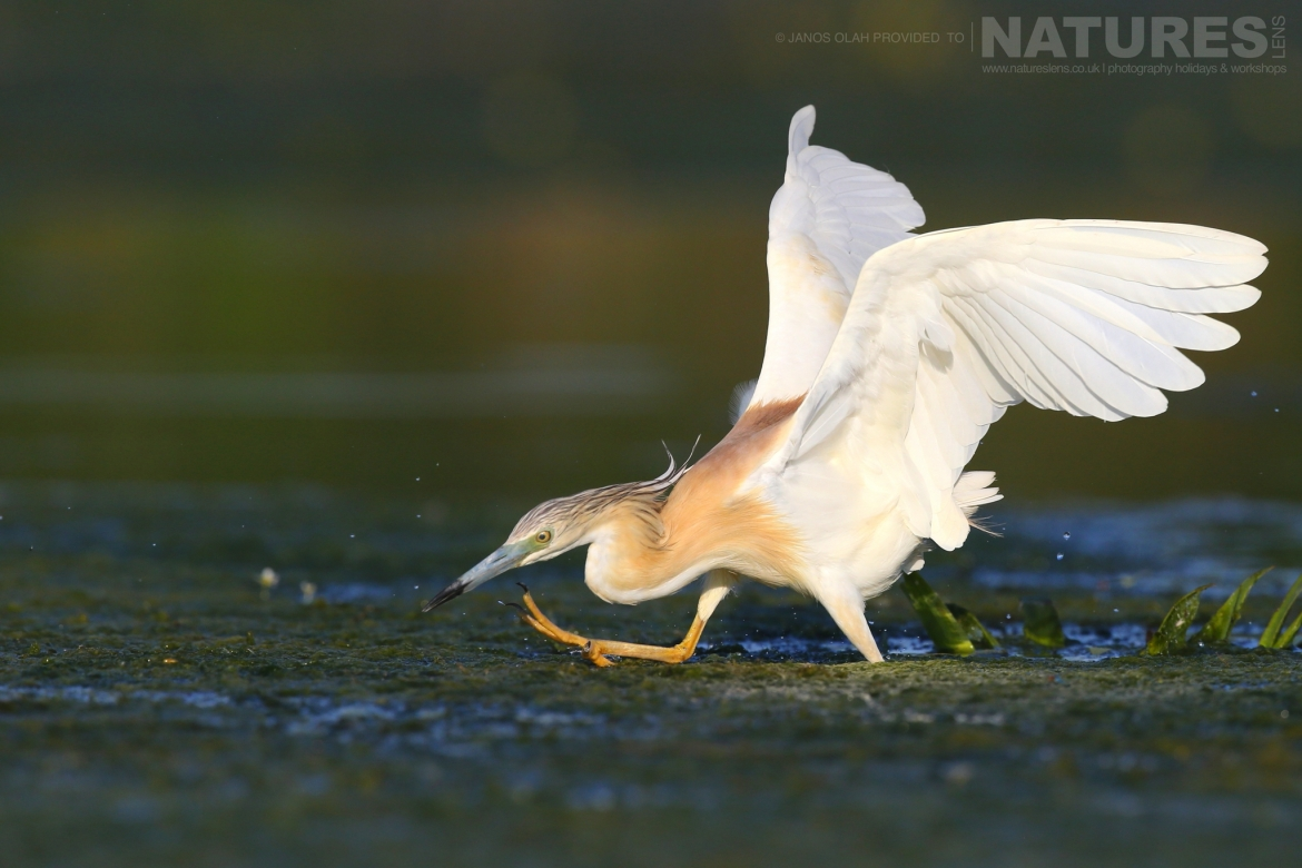 One of the Squacco Herons runs across a pool photographed in the locations used for the NaturesLens Birdlife of the Danube Delta Macin Mountains photography holiday