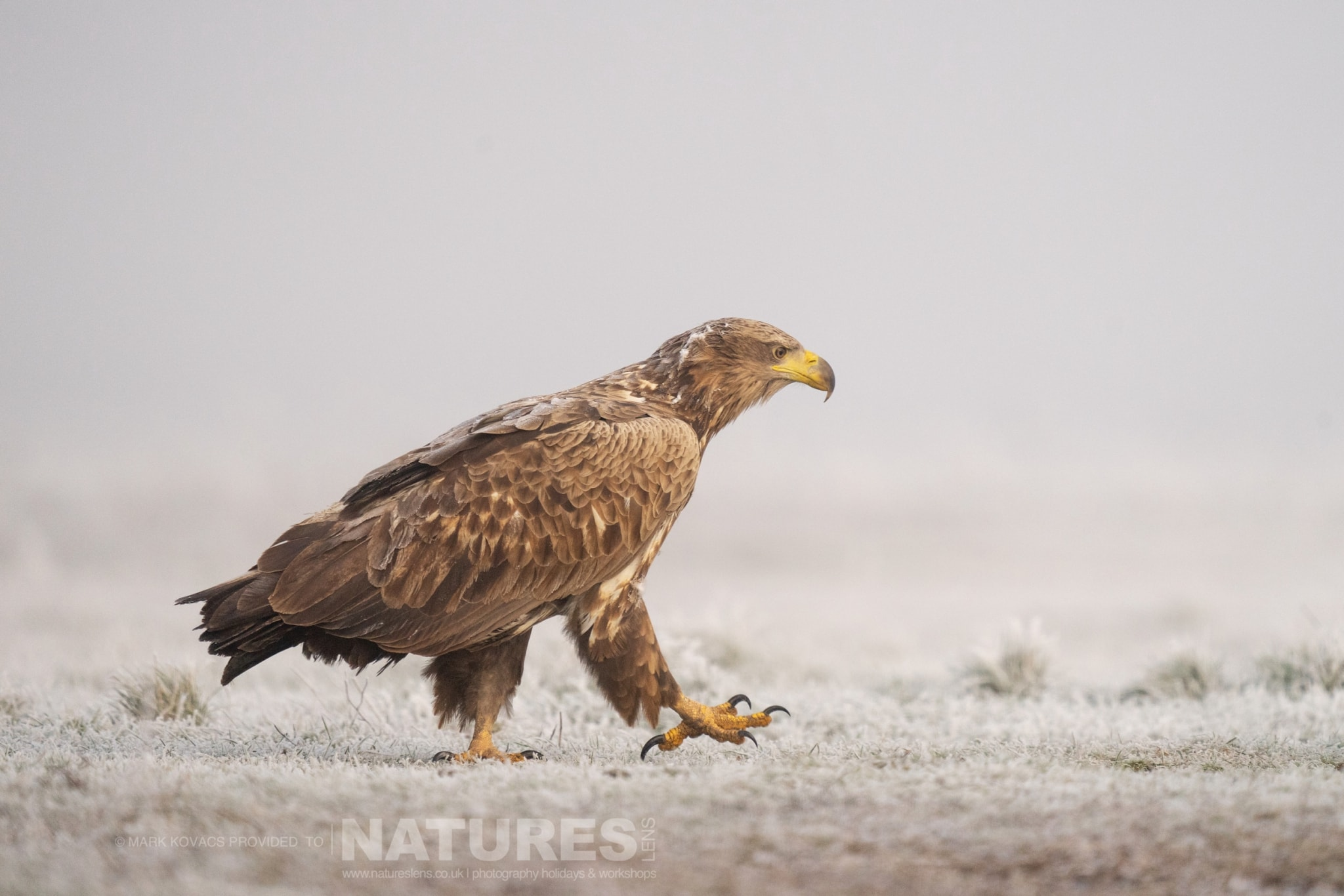 A White tailed Sea Eagle strides across the ground in front of one of the hides photographed at the locations for the Winter Eagles of the Hortobagy photography holiday
