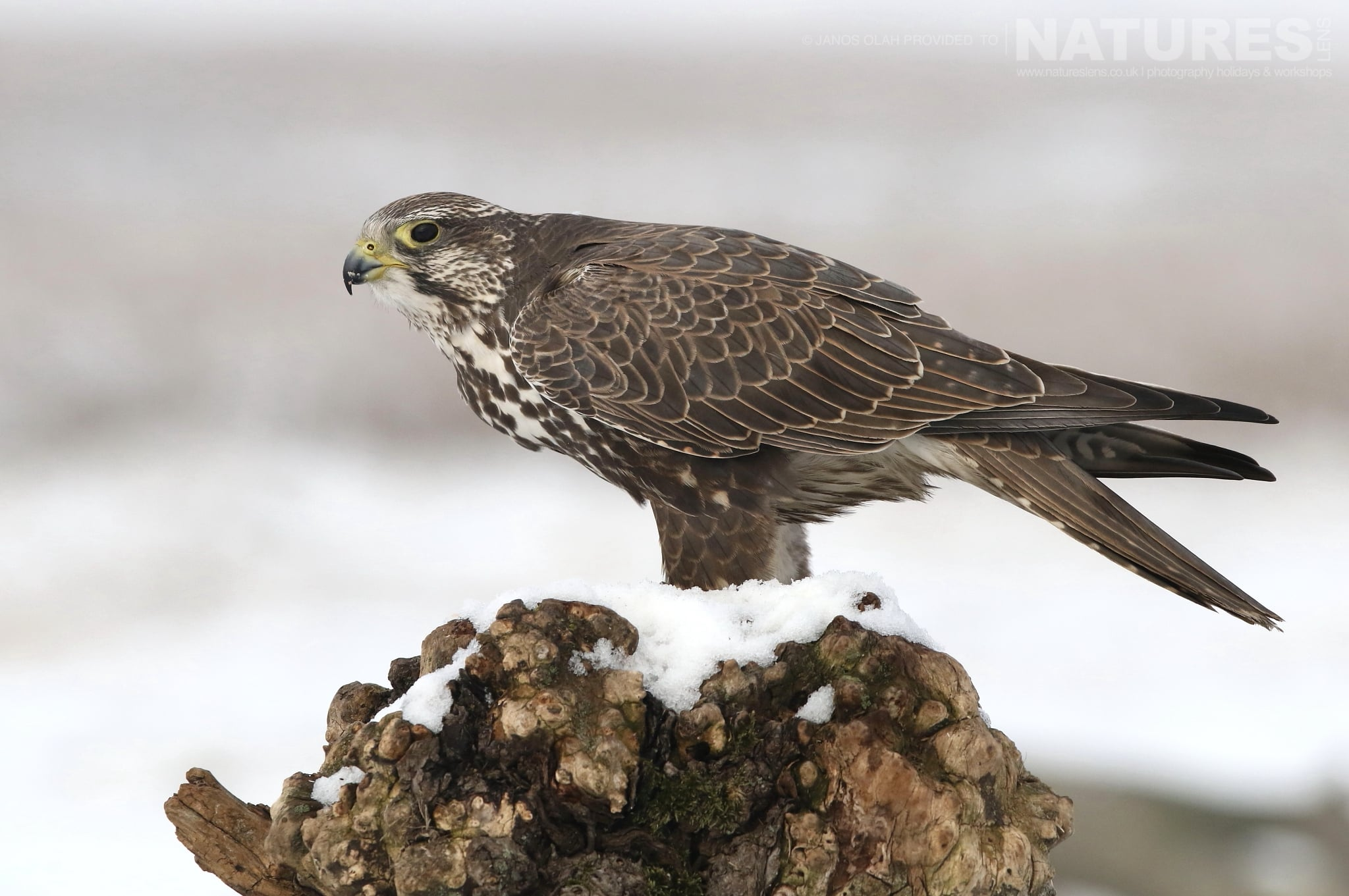 A beautiful Saker falcon on snow photographed at the locations for the Winter Eagles of the Hortobagy photography holiday