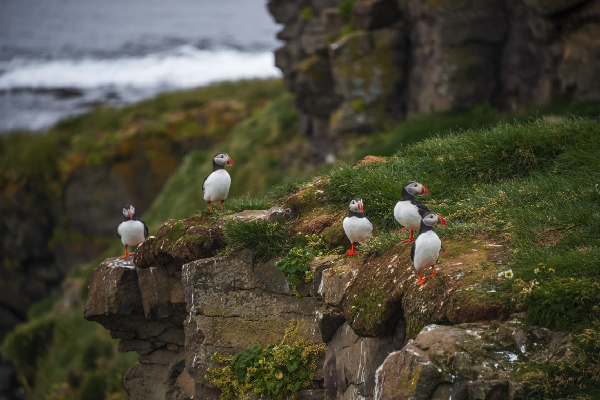 A group of puffins on one of the cliff edges of Grimsey Island the location for the NaturesLens Puffins of the Arctic Circle photography holiday