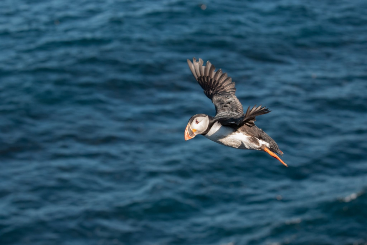A lone puffin flies over the Icelandic seas which surround Grimsey Island the location for the NaturesLens Puffins of the Arctic Circle photography holiday