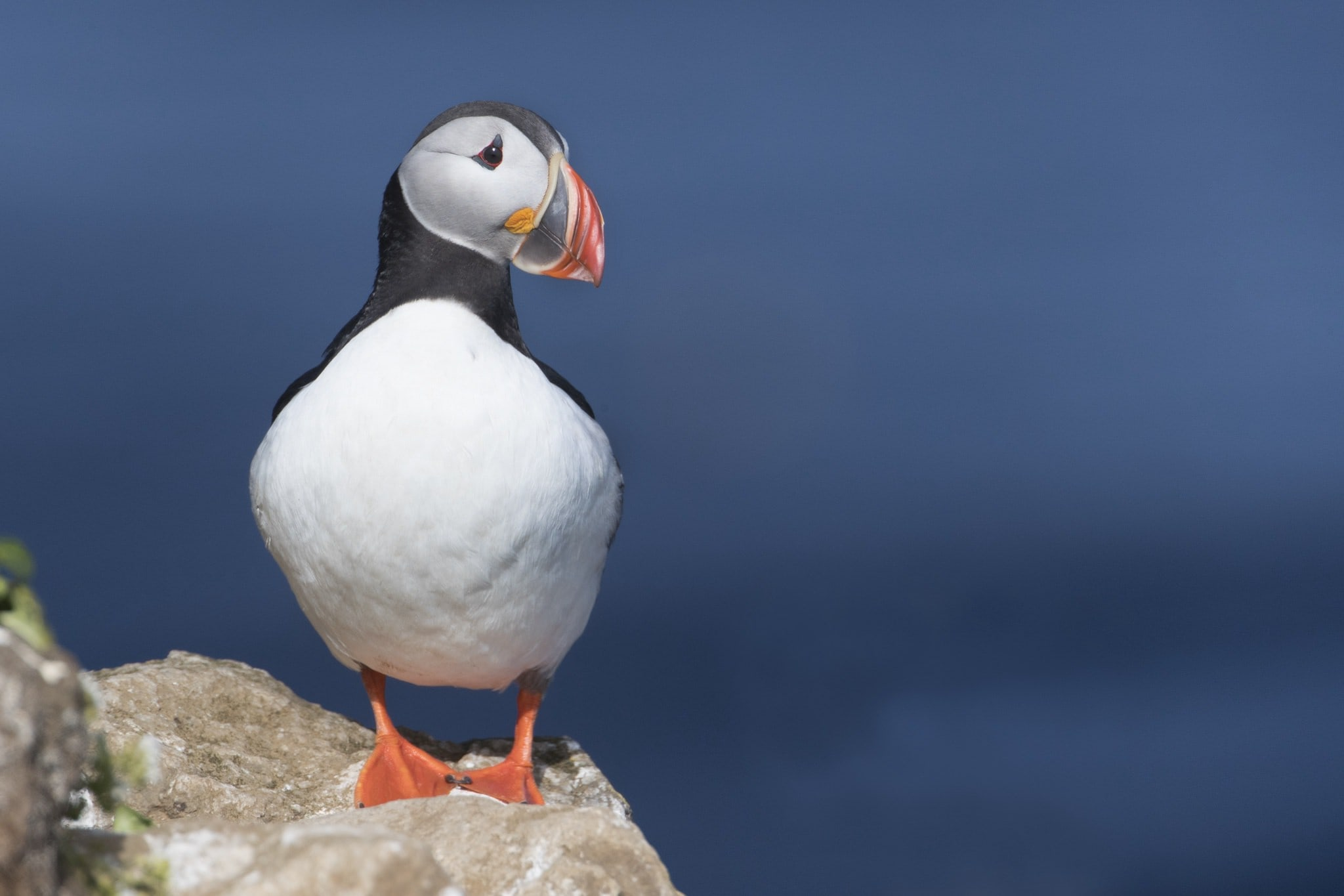 A lone puffin gazes out to sea from one of the rocky outcrops on Grimsey Island the location for the NaturesLens Puffins of the Arctic Circle photography holiday