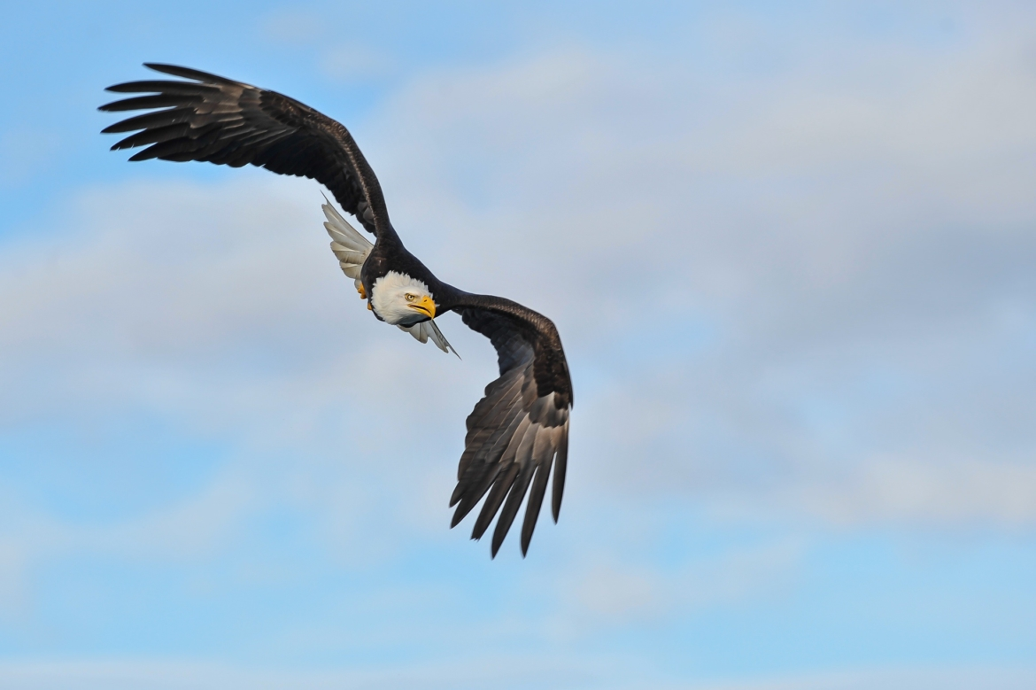 A Bald Eagle prepares to dive from the sky the type of image that you will be able to capture during the NaturesLens Bald Eagles Otters of Alaska Photography Holiday
