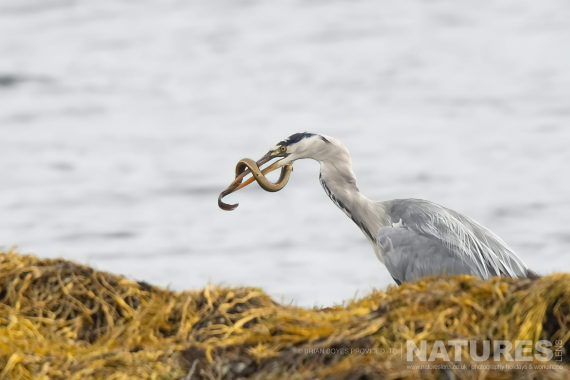 A Heron amongst Kelp as can be photographed during the NaturesLens WIldlife of Mull Photography Holiday