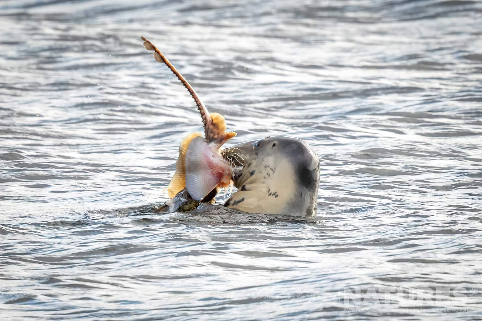 A Seal with its catch as can be photographed during the NaturesLens WIldlife of Mull Photography Holiday