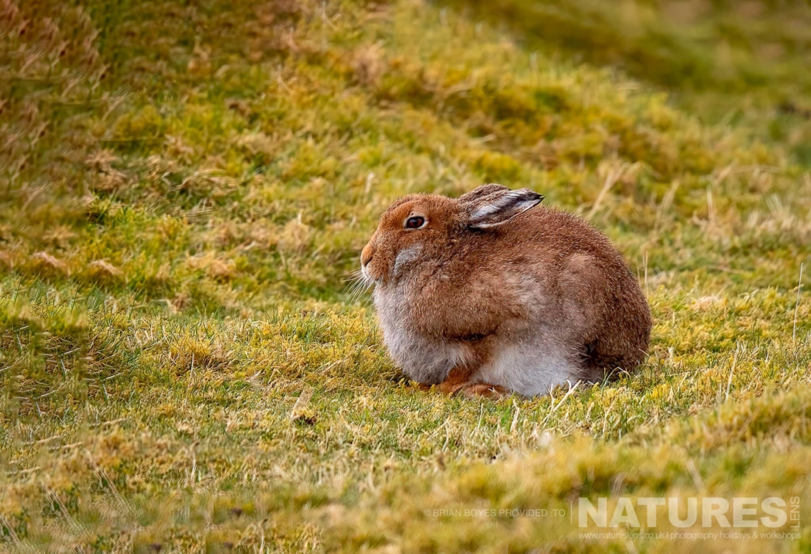 A lone Mountain Hare as can be photographed during the NaturesLens WIldlife of Mull Photography Holiday