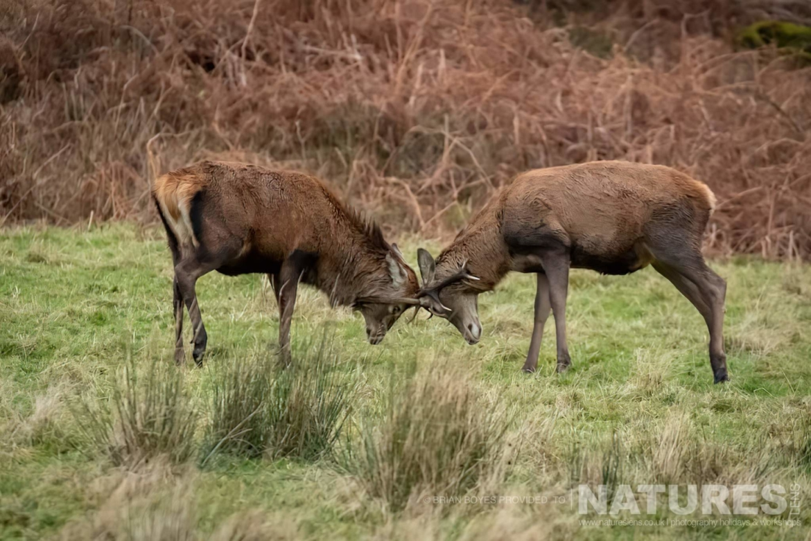 A pair of deer as can be photographed during the NaturesLens WIldlife of Mull Photography Holiday