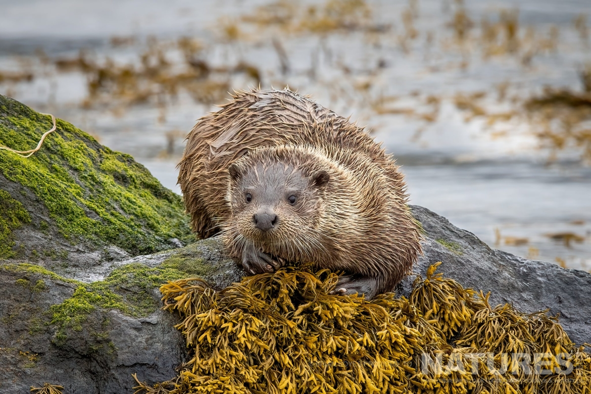 An Eurasian Otter as can be photographed during the NaturesLens WIldlife of Mull Photography Holiday