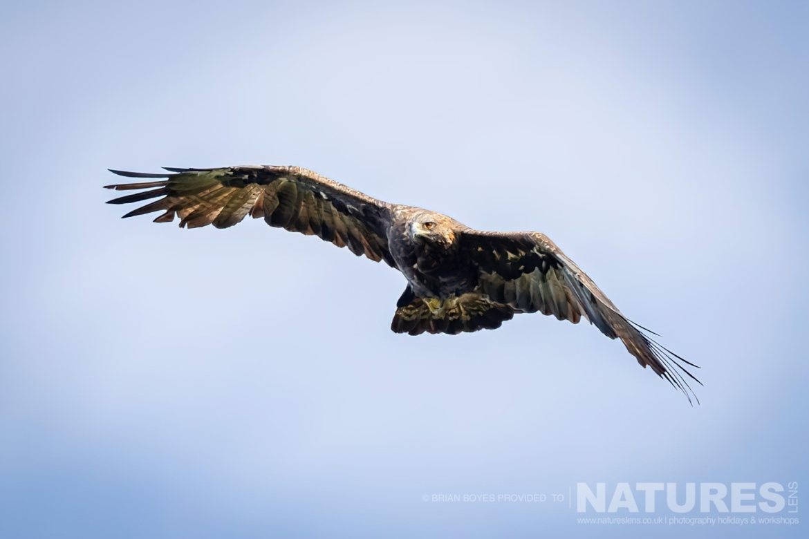 Golden Eagle as can be photographed during the NaturesLens WIldlife of Mull Photography Holiday