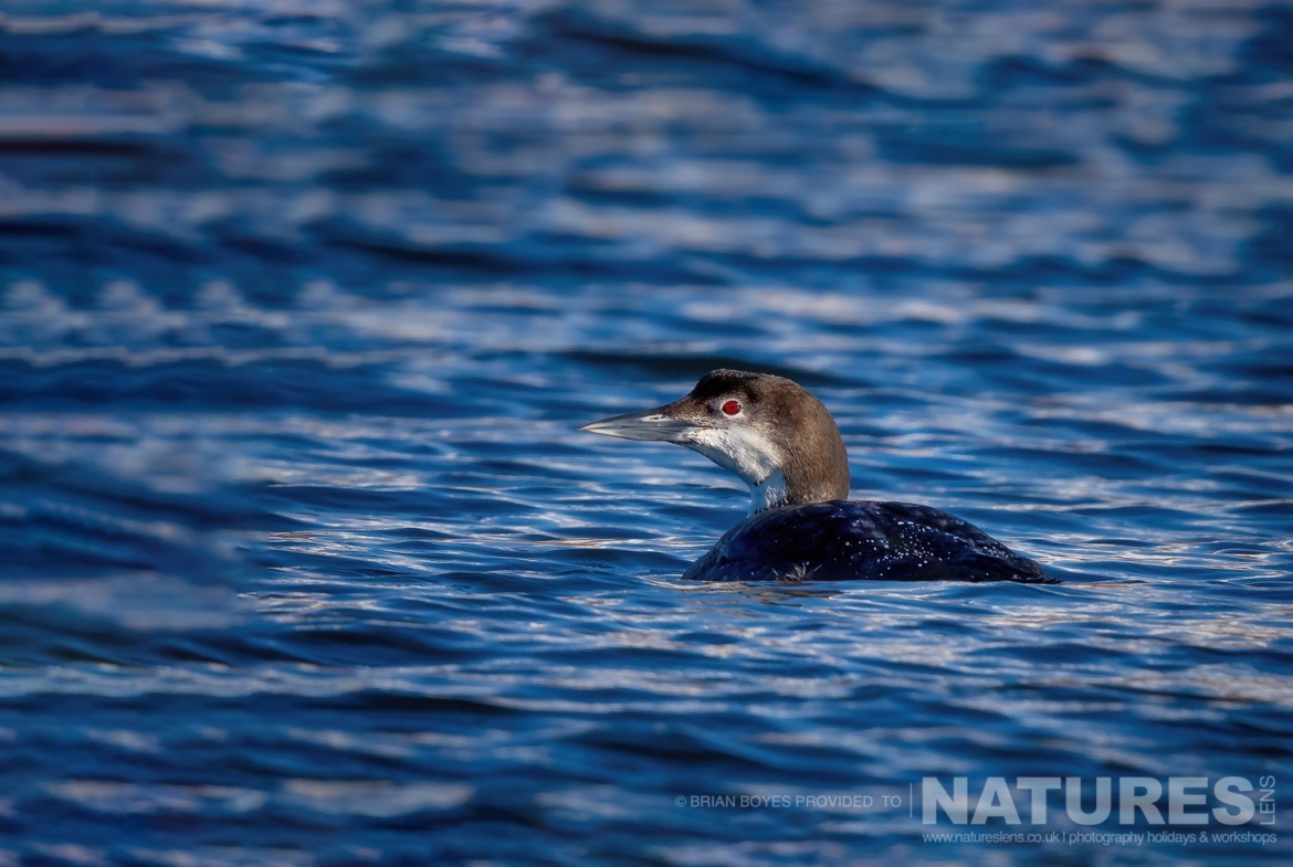 Northern Diver as can be photographed during the NaturesLens WIldlife of Mull Photography Holiday
