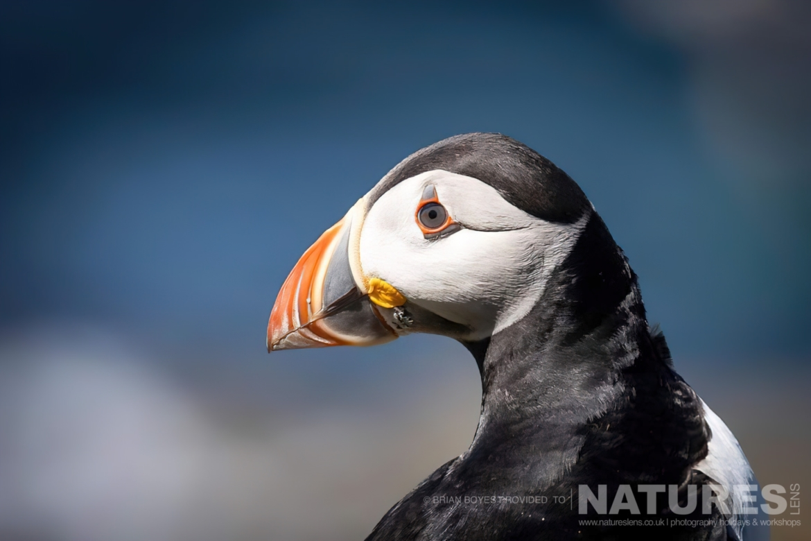 One of Lungas Puffins as can be photographed during the NaturesLens WIldlife of Mull Photography Holiday